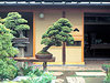 Photo_bonsai_1